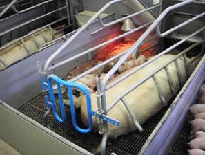 Чавунні решітки у свинарстві
